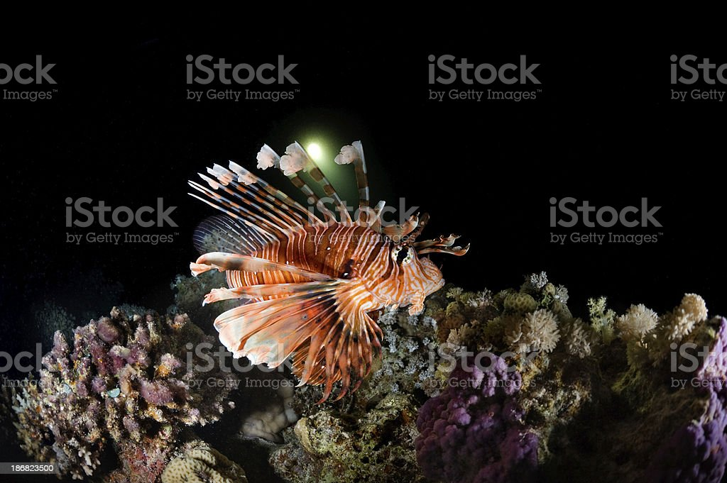 The Lionfish royalty-free stock photo