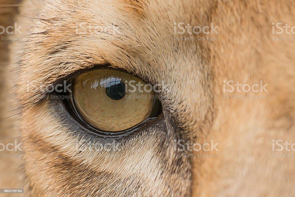 The Lion's Eye stock photo
