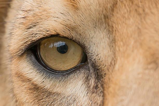 Aslan göz stok fotoğrafı