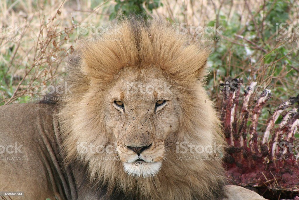 The lion's share royalty-free stock photo