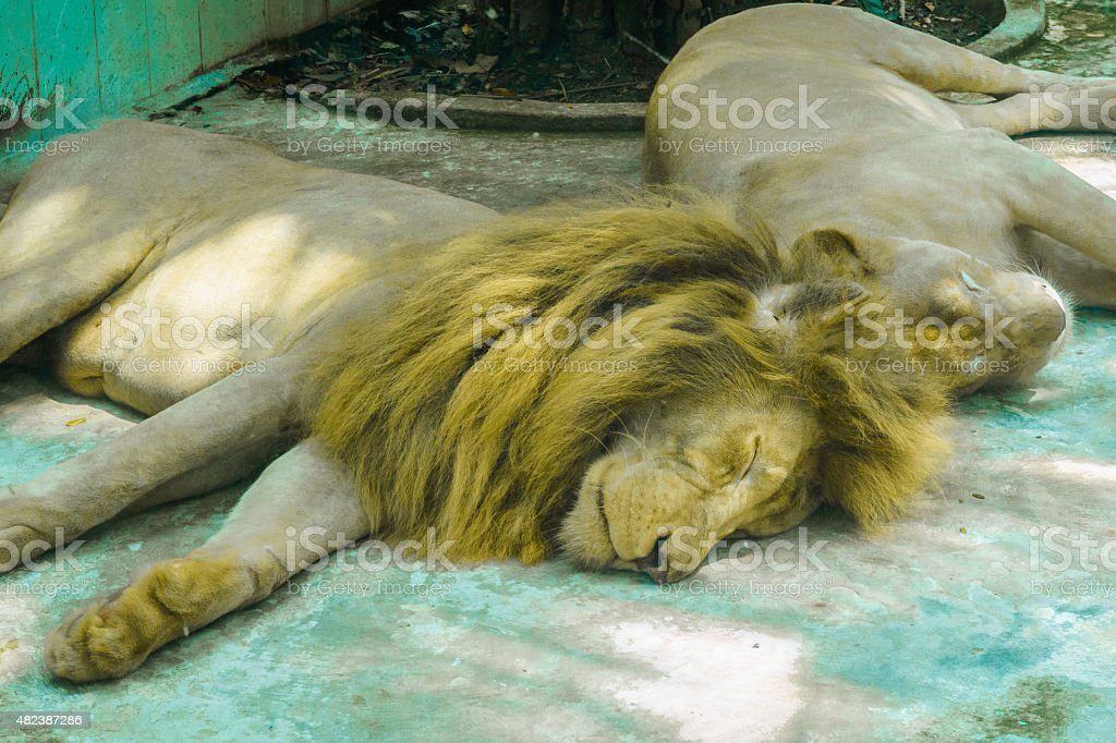 The lions sleep during the day stock photo