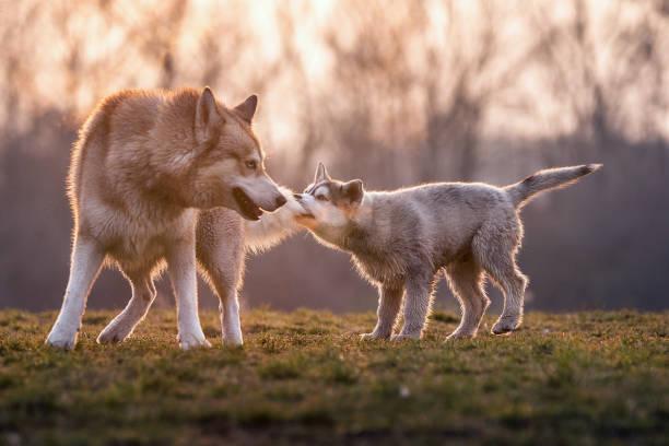 de kleine baby husky trekt op de staart van zijn grote broer - siberië stockfoto's en -beelden
