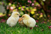 The little chickens on a green grass