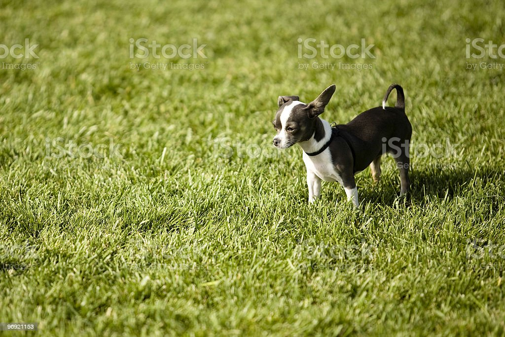 The Little Dog royalty-free stock photo