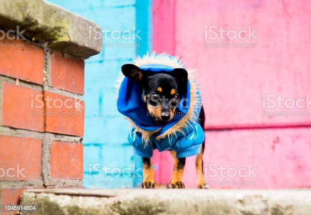 The little dog walks in a warm jacket picture id1045914504?b=1&k=6&m=1045914504&s=612x612&h=uqimsqosamnjevflnltnm4lnmr7wuohrvox6dg8tmvy=