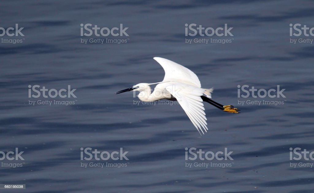The little egret 免版稅 stock photo
