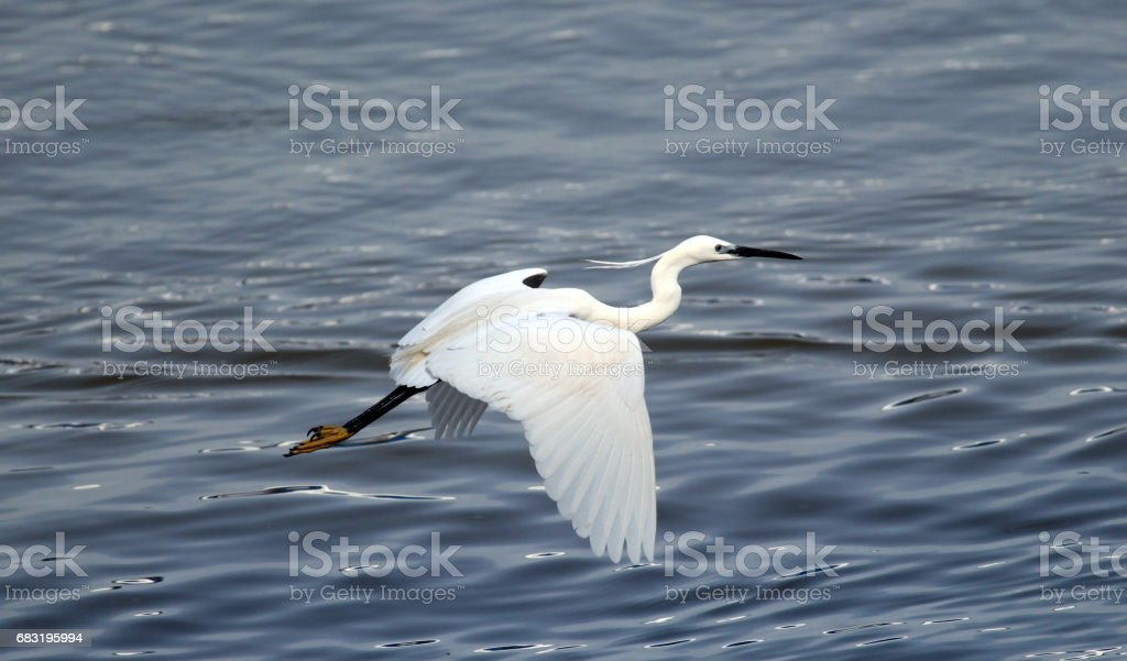 The little egret royalty-free 스톡 사진