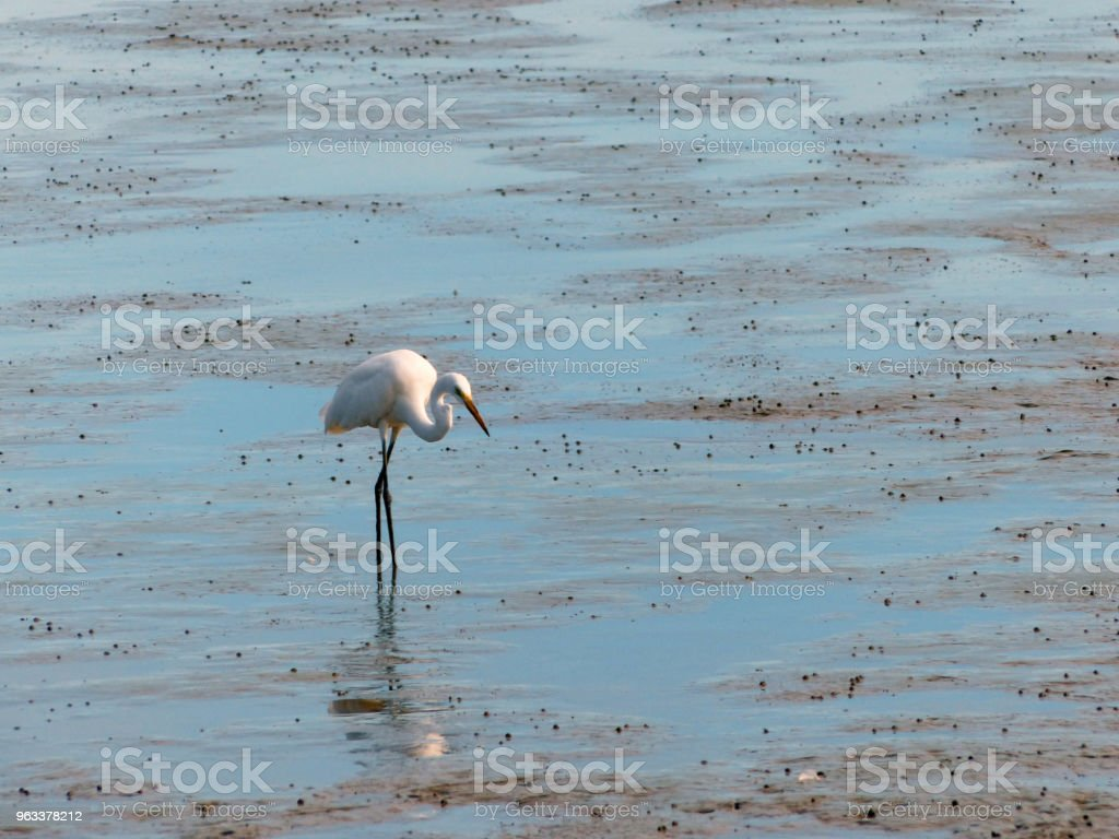 The Little Egret (Egretta garzetta) walking to find some food - Zbiór zdjęć royalty-free (Bagno)