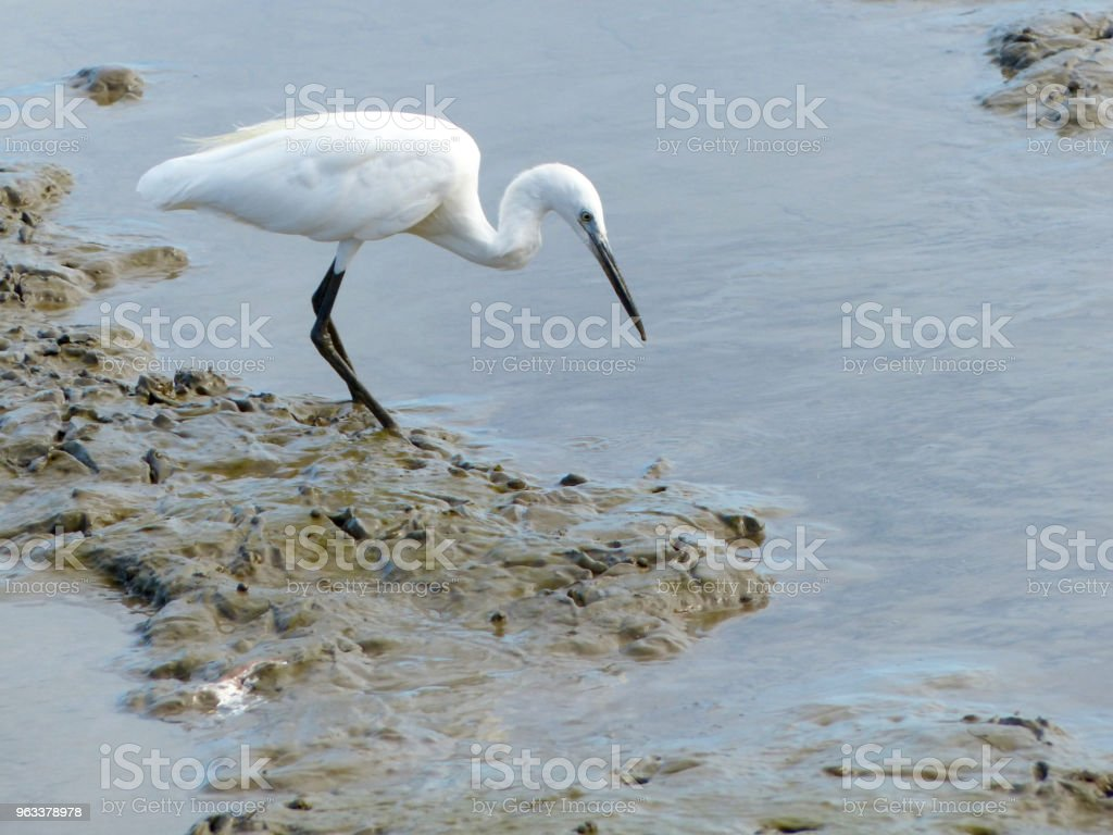 The Little Egret (Egretta garzetta) walking to find some food - Zbiór zdjęć royalty-free (Bagno)