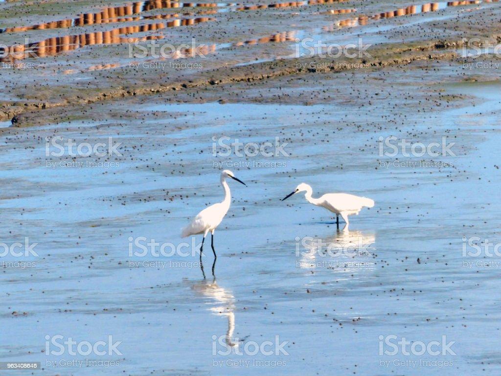 The Little Egret (Egretta garzetta) walking to find some food - Zbiór zdjęć royalty-free (Bez ludzi)