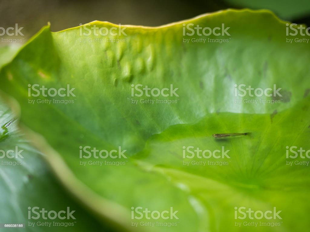 The little fish is in lotus leaf. stock photo