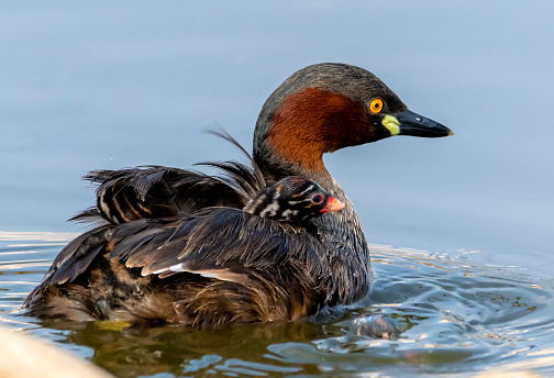 The little grebe, also known as dabchick, is a member of the grebe family of water birds.