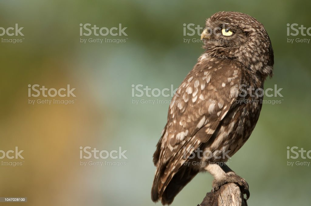 Whet Owl The Little Owl Nocturnal Raptors Athene Noctua Perched On Log Where The Istock The Little Owl Nocturnal Raptors Athene Noctua Perched On Log