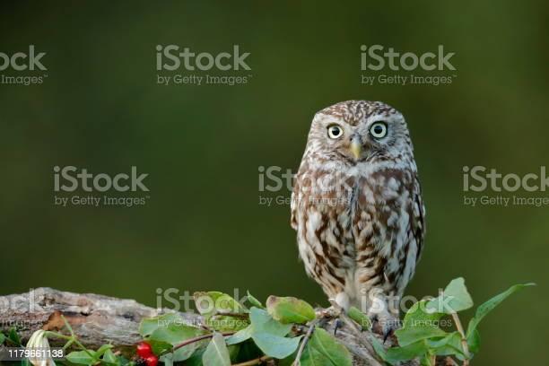 The little owl picture id1179661138?b=1&k=6&m=1179661138&s=612x612&h=g  r12oj4frxj7 21y3vudsjqnhy05htu lslt3vzmw=