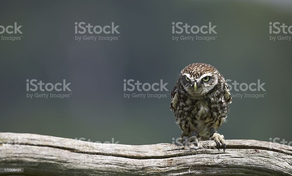 The Little Owl royalty-free stock photo