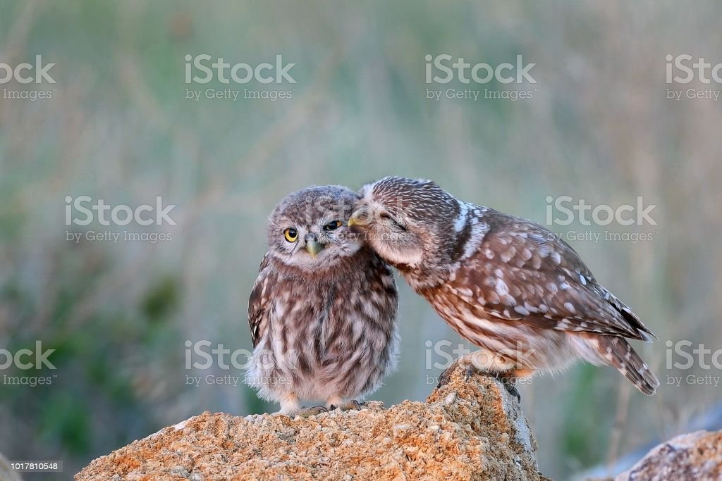 The little owl (Athene noctua) with his chick standing on a stone The little owl (Athene noctua) with his chick standing on a stone. Animal Body Part Stock Photo