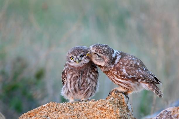 The little owl (Athene noctua) with his chick standing on a stone stock photo