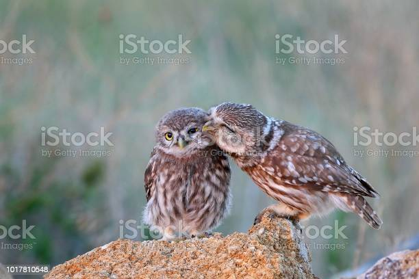 Photo of The little owl (Athene noctua) with his chick standing on a stone