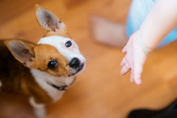 The little redhaired lap dog breed a chihuahua and a childs hand the picture id1048055990?b=1&k=6&m=1048055990&s=612x612&w=0&h=hukfz jauodmaudmzqtaexb8jarfcqki6ex8jtt efi=