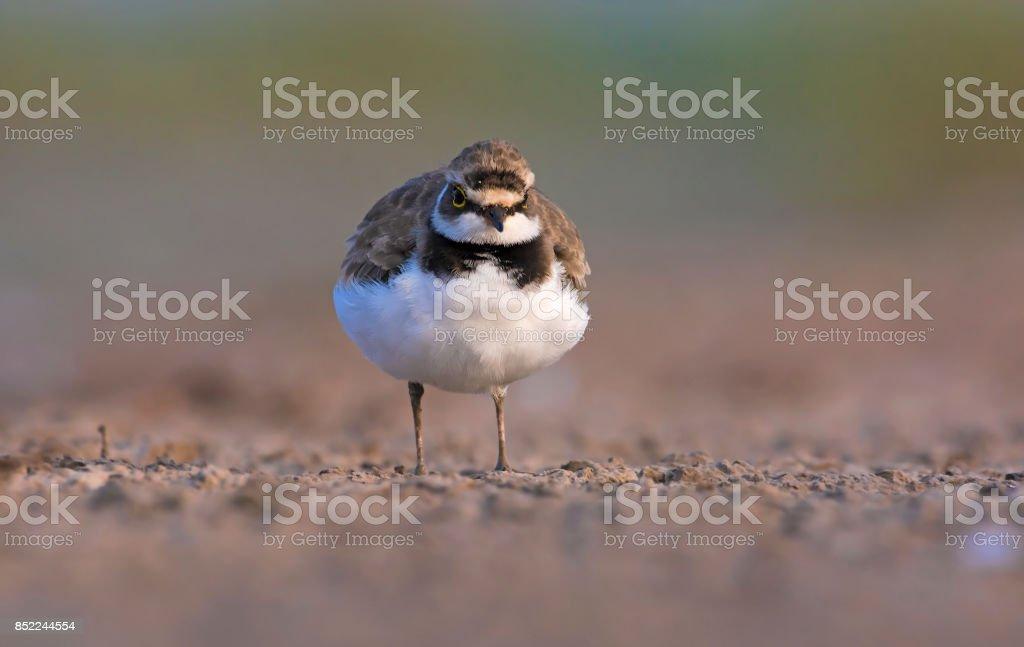 The little ringed plover (Charadrius dubius) stock photo
