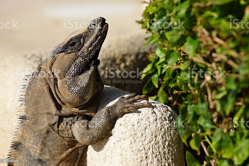 The lizard is heated on stones royalty-free stock photo