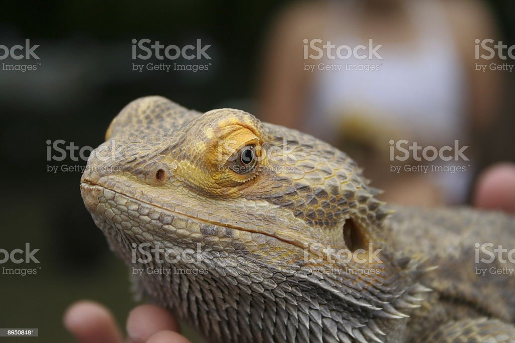 The lizard is watching royalty-free stock photo