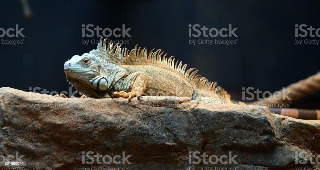 The lizard on the rocks stock photo