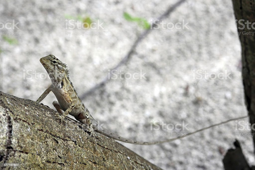 the lizard royalty-free stock photo
