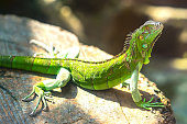 The lizard rests in the natural world looking to the future so cute when watching them