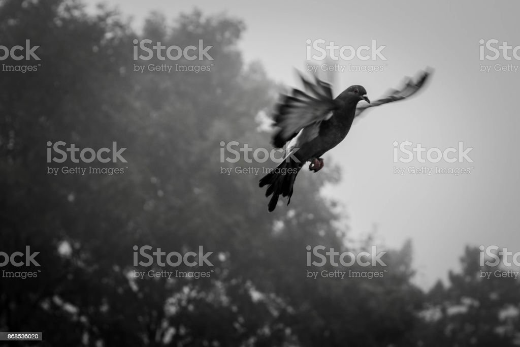 The lone pigeon flies in heaven on the wings of love stock photo