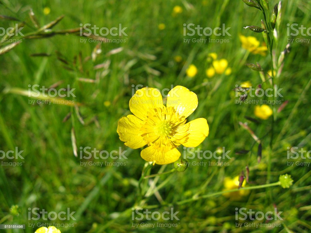 the lonely buttercup in grass stock photo