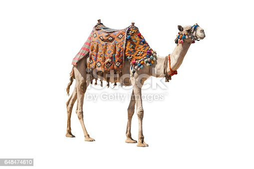 istock The lonely domestic camel isolated on white. 648474610