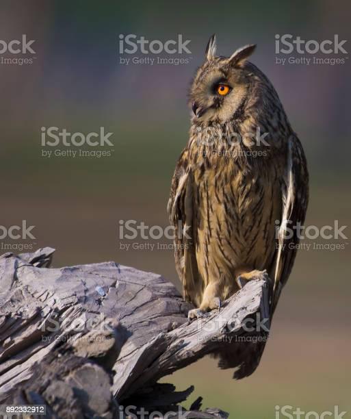 The long eared owl picture id892332912?b=1&k=6&m=892332912&s=612x612&h=pkvn 3hjw0xesyl8opvsmmklwaycfzzgodu44q1xcb0=