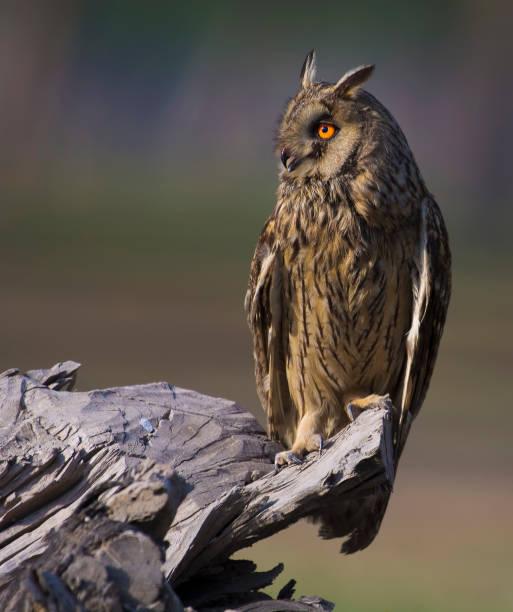 The long eared owl picture id892332912?b=1&k=6&m=892332912&s=612x612&w=0&h=epykyt1c3z8yg6yxr5jrd9rbabxnhb9kjxtm6xaj84s=