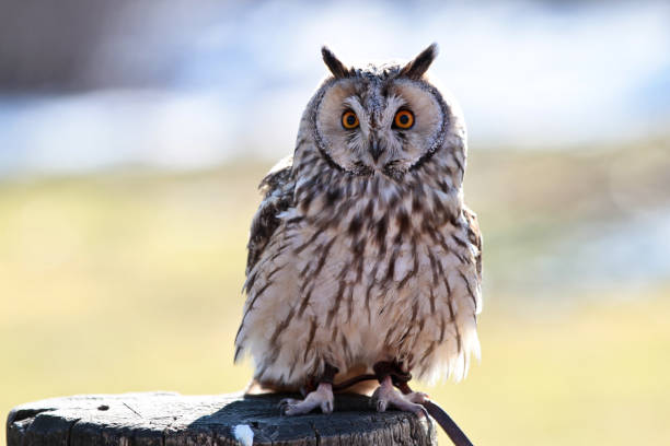 The longeared owl asio otus in a german nature park picture id1143138199?b=1&k=6&m=1143138199&s=612x612&w=0&h=qeekiyty8hmhepqomelrpufgimohmms7emmnqy3qqic=