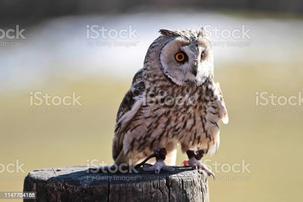 The longeared owl asio otus in a german nature park picture id1147704188?b=1&k=6&m=1147704188&s=612x612&h=yyhe4m4wi9chwsm7qx8kfald u37ngn7y3wqe6zxtoi=