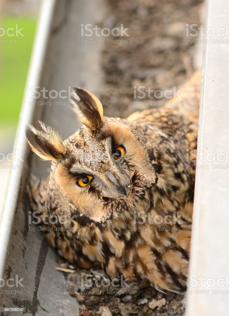 The long-eared owl Asio otus . The long-eared owl female hatches on eggs in gutter stock photo