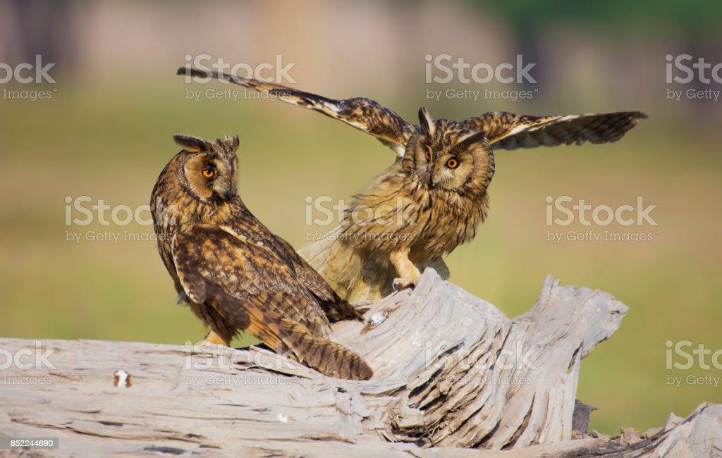 The long-eared owl's (Asio otus or Strix otus) stock photo