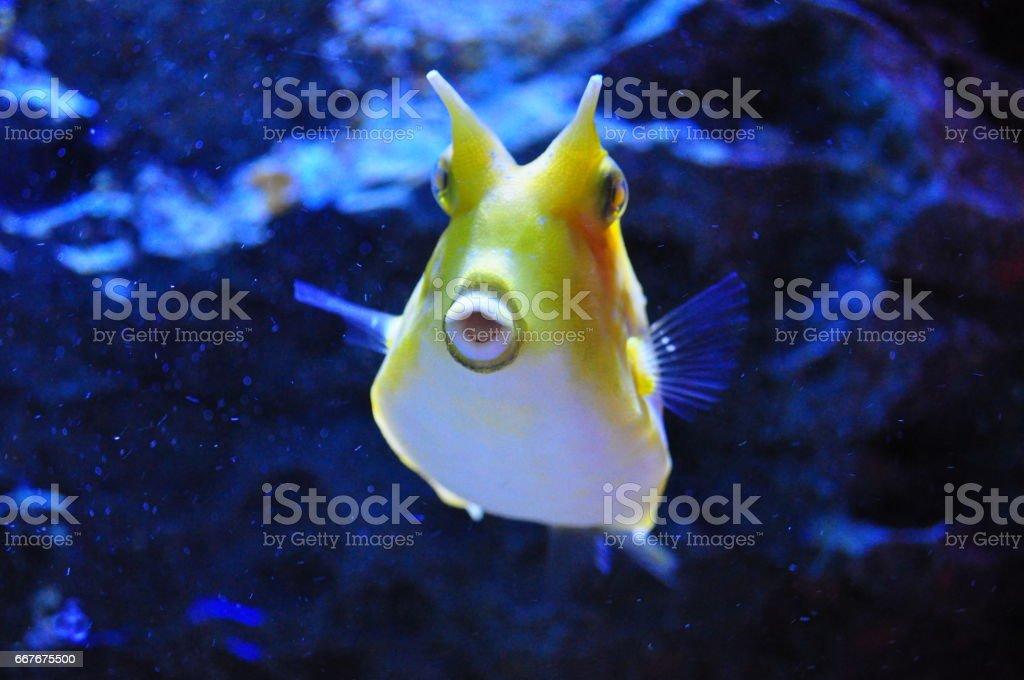 The Longhorn Cowfish stock photo