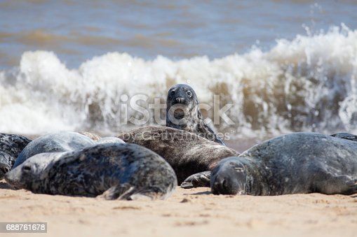 The Lookout. Alert and curious animal in wild grey seal colony. Taken at Horsey, Norfolk, Uk.