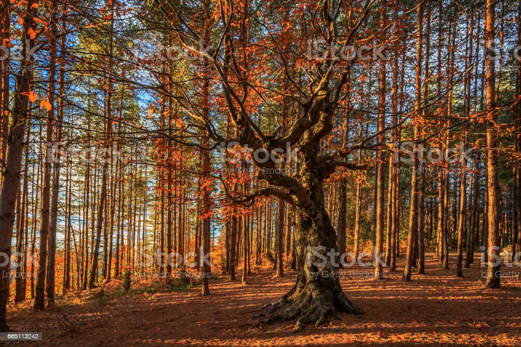 The lord of the forest stock photo