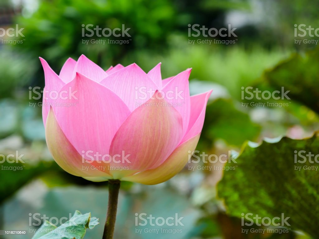 The Lotus Flower On The Green Background Stock Photo More Pictures