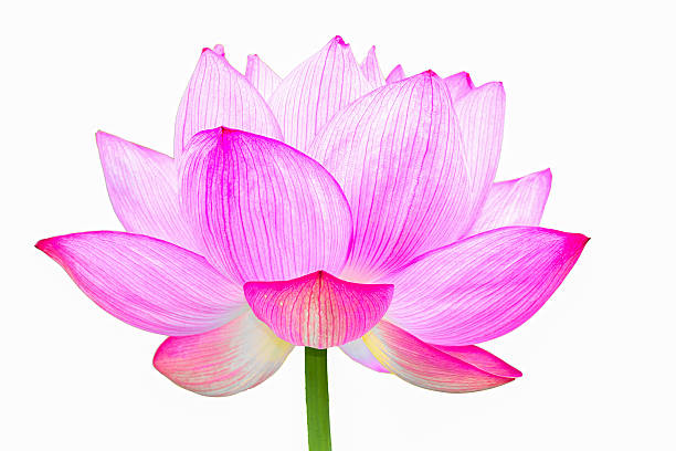 das lotus blume - lotus symbol stock-fotos und bilder