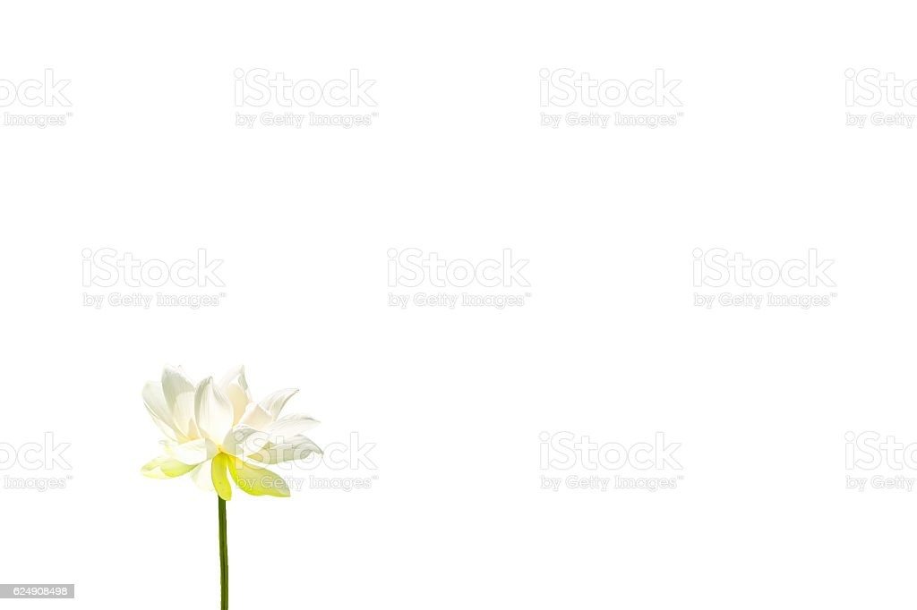 The Lotus Flower stock photo
