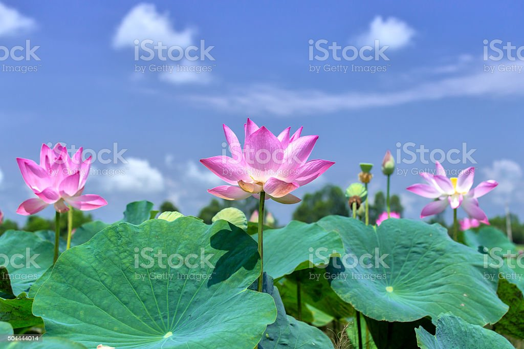 The lotus rising shine in the sky stock photo
