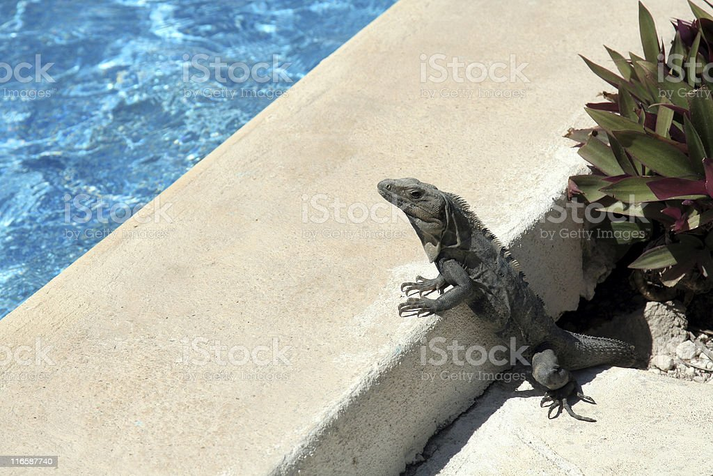 The Lounge Lizard royalty-free stock photo