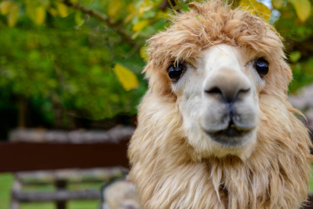 the lovely Alpaca. stock photo