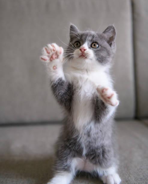 The lovely British cat kitten – zdjęcie