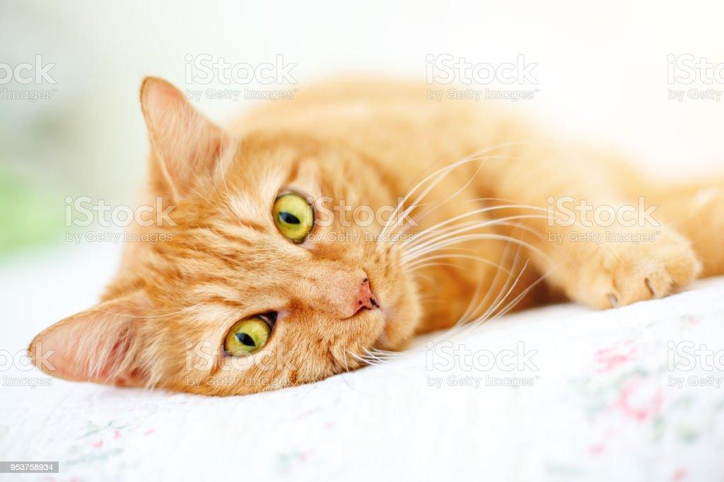 El gato rojo encantador miente en un sofá - foto de stock
