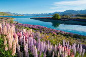 Lupins growing at Lake Tekapo, on New Zealand's South Island. Across the water we can see the famous Church of the Good Shepherd.